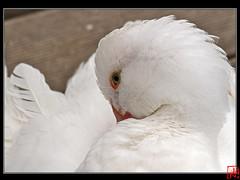 Canard de Pkin.... (mamnic47 - Over 5 millions views.Thks!) Tags: versailles grandcanal albinos chateaudeversailles img1846 canardmandarin parcdeversailles canardmadarinmalade