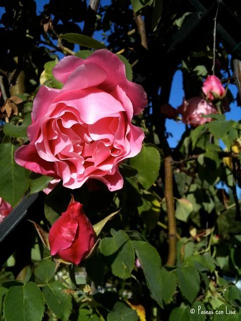 (337) Rosa rosa