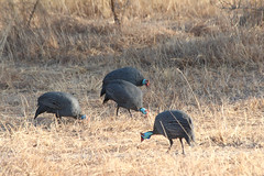 IMG_4842 (opnielsen) Tags: tanzania 2016 selous game reserve bird guinea fowl guineafowl helmeted