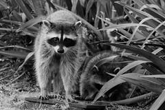 Raccoons (Bernardo Gaetani) Tags: travel viaje canada animals vancouver columbia viagem british animales lower raccoon animais viaggi animali mainland guaxinim mapache procyon lotor ratolavadeiro