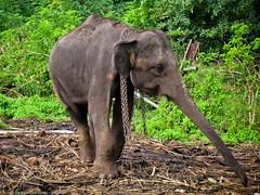 Слон в цепях