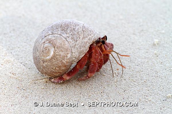 Malaysian Hermit Crab