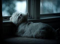 peaceful (paulh192) Tags: home relax kirby nikon westie terrier westhighlandwhite