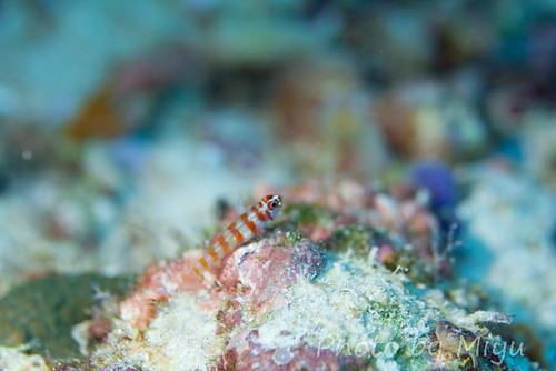 Candy Cane goby