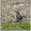 "I finally figured out why they are called Gray ""Cat""birds today. They sound like a cat crying out..."