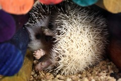 Meet Juniper (a. fagan) Tags: sleeping pet baby brown white house amanda cute feet home girl up mammal island nose rainbow nocturnal florida south adorable east hut domestic shore tiny curled hedgehog fl spines urchin juniper claws spiny bedding verobeach quilling indianriver fagan 772 quills hedgepig chordata erinaceinae