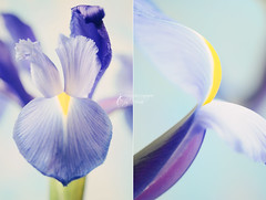 The strength of women comes from the fact that psychology cannot explain us. Men can be analyzed, women merely adored (Oscar Wilde) (dhmig) Tags: blue iris flower macro nature yellow petals nikon diptych purple bokeh flowerabstract 50mmf28 softcolours artedellafoto nikond7000 dhmig dhmigphotography