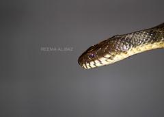 water snake (ReemaCo) Tags: water snake  reema aiin raat     albaz   reemaco