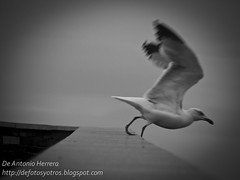 Gaviota 4 (Antonio Herrera) Tags: espaa fauna aves galicia lugo gaviotas ribadeo playadelascatedrales