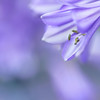 ...we'll breathe together... (jewelflyt) Tags: flower macro square purple bokeh cropped agapanthus missyhiggins thespecialtwo hpps perfectpurplesaturday