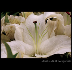*****Seduction***** (Martha MGR -I'll be out for two weeks.) Tags: white flower macro square natureza lirio flres mmgr marthamgr 4msphotographicdream 3msroyalflowers 2msroyalstation marthamariagrabnerraymundo marthamgraymundo