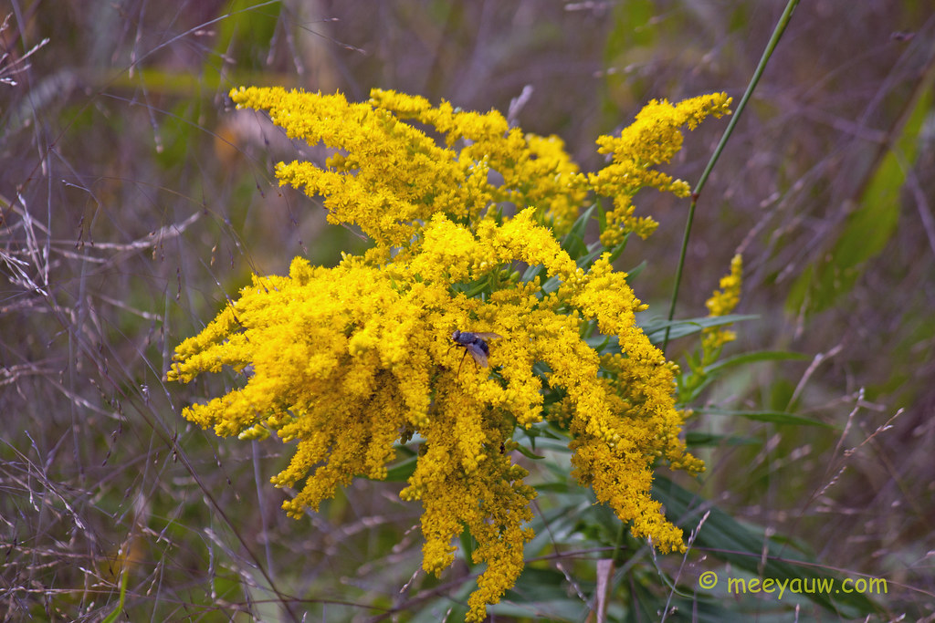 Tall Goldenrod  00.jpg