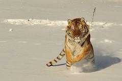 Siberian Tiger (Ami 211) Tags: tiger bigcat siberiantiger amurtiger panthera pantheratigris felidae tigerinthesnow pantherinae flickrbigcats tigerinsnow