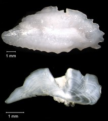 Rock Hind Otolith (FWC Research) Tags: fish florida research otolith