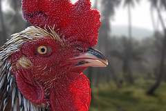Cock Fighter (Xavier Cloitre) Tags: red colors animal de thailand rouge photography photo fight rojo nikon asia colours photographie couleurs selva colores jungle samui asie d200 fotografia combat koh tani coq thailande surat cockfighter totallythailand xaviercloitre