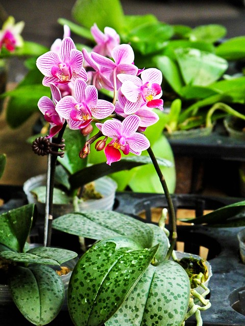 IMG_0653 Orchid ,胡姬花