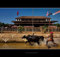 S U V of  Mangalore (Manoj Aswathi's Travel& Photography.) Tags: travel sky people india art tourism sports culture watersports splash karnataka suv mangalore kannada ruralindia indianculture watergames kambala heritagehome guthu aswathi233 mtv233 ruralpeople promotoion guthumane pilikkulakambala baffallos mangaloreculture