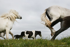 :)...! (Ggja Einars..) Tags: family wild summer horses horse baby white cute love nature colors beautiful grass animals canon eos grey iceland colorful europe soft spirit gorgeous explorer free windy running fairy traveling stallions 50 viking magical pferde herd pferd whitehorse equine nttra mane pinto icelandic foal foals summernight icelandichorse hestur whitelegs icelandichorses 50d hesturinn nkkvi slenski ggja gigja grni einarsdottir hjrsey magicunicornverybest gigjaeinarsdottir