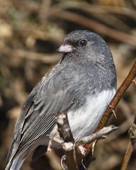 Dark-eyed Junco (Dah Professor) Tags: kh0831 roundvalley bird 2011 nj