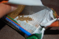 Biscuit thief - Mourning Gecko  (Lepidodactylus lugubris) (Sky and Yak) Tags: house nature mourning reptile wildlife lizard biscuit gecko panama naturalworld bluff herp herps herpetology coldblooded reptilesandamphibians lugubris lepidodactylus