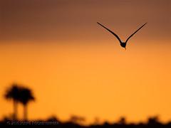 Black Skimmer Against Pacific Sunset (Joerg Rockenberger) Tags: california sunset sky usa nature silhouette flying action coastline huntingtonbeach blackskimmer bolsachicawetlands
