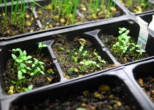 celery seedlings