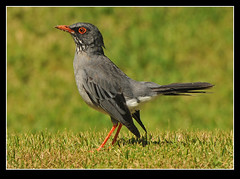 Red-legged Thrush - Turdus plumbeus Explored Feb 2011 (Pete Withers) Tags: nikon dominican republic august explore peter pete ornithology thrush 2010 turdus withers d300 redlegged explored plumbeus petewithers peterwithers petewithersbutterflies