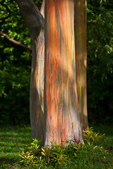 Orange, Green, Yellow...tree? (Shutters Open) Tags: trees hawaii maui roadtohana rainbowtree