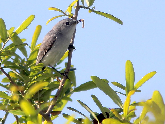 Blue-gray Gnatcatcher 20110227