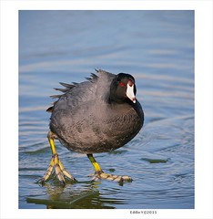 American Coot on Ice, Image One (Eddie_NewYorkNature) Tags: duck waterbird coot shorebird americancoot iceandwater fulicaamericana flushingmeadowscoronapark newyorkbird newyorkcitypark wintebird