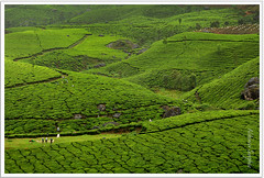 Green Rush II (Abhinav Singhai) Tags: travel vacation green leaves nikon tea kerala tourist traveller munnar greenary d90 incredibleindia gettyvacation teavalley lushgreen nikond90 tatateaestate gettyindia