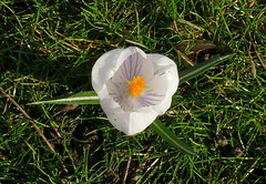 Solitary Crocus by Tim Green aka atoach