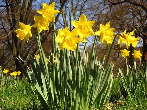 Daffodils at Kew