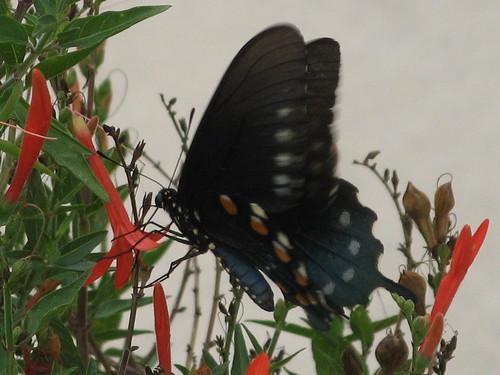 Pipevine Swallowtail underside