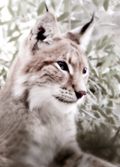 Wild Beauty II (PuffinArt) Tags: wild portrait animal sepia cat nikon retrato puffinart nikkor captive vr captivity linx greenish dashofcolor d300 lince cativeiro 18200mm gatoselvagem vandamalvig softlook dreamylook