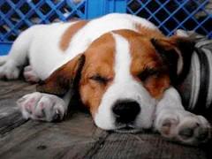 baby Harley Rey (Willow Creek Photography) Tags: dog puppy mutt canine k9 brownandwhitedog harleyrey kingstonreyphotography