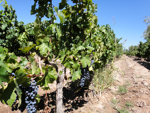 Grapes on the Vine at a Winery