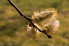 Salix Caprea (CunoCyn) Tags: flowers plants tree nature sunshine wales composition canon photography eos march countryside is spring warm wildlife stock goat breconbeacons willow catkin usm dslr istock powys salix ruleofthirds llangynidr caprea 60d 1585mm cunocyn cynfelyn nancarrowlei