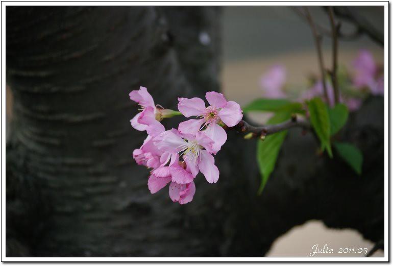 櫻花 (11)
