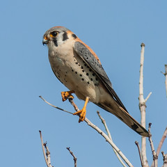 The Day is Mine! (Patricia Ware) Tags: california raptor huntingtonbeach americankestrel bolsachica specanimal americankestrelfalcosparverius canon40d 300mmlenswith14teleconverter bestofblinkwinners