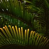 #011006 - palm tree branches, kailua, hawaii, february 2011. (Jeff Merlet Photography) Tags: shadow color tree green 120 6x6 film leaves yellow mediumformat square hawaii leaf flickr published branch fuji oahu bokeh slide palm hasselblad velvia transparency medium mf 100 500 velvia100 06 e6 kailua 500cm carre hassy 011006 voyagevoyage planar80 carlzeiss80mmf28planar r0110 jeffmerletphotography jeffmerlet photojeffmerletcom hawaii201102