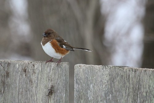 Female towhee by ricmcarthur