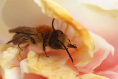 Miner bee inside a camelia flower (Lord V) Tags: macro bug insect bee minerbee