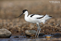 Pied Avocet, Recurvirostra avosetta (Nigel Blake, 12 MILLION...Yay! Many thanks!) Tags: blue brown white black bird history nature birds canon photography eos natural wildlife shore blake pied nigel shorebird avocet wader recurvirostra avosetta recurvirostridae 1dsmkiii 600mmf4is