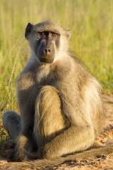 I'm so lonely (Christine Lamberth) Tags: africa camera travel animal sunrise canon fur mammal eyes photographer wildlife christine stare zimbabwe behaviour youngmale chacmababoon lamberth animalkingdomelite matetsireserve
