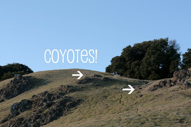 coyotes on mt. tamalpais!