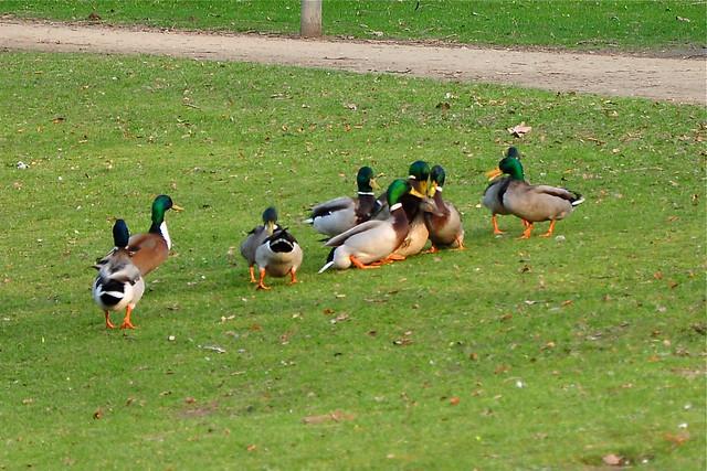 duck gangbang