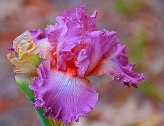 purple iris (Wils 888) Tags: county iris flower macro nature closeup lens petals newjersey nikon purple zoom blossom lace ngc nj violet lavender social explore tall bergen nikkor paramus graces ruffled germaniris beared bergencounty 18200mm irisgermanica vansaunpark socialgraces d300s coth5 vaunsaunpark