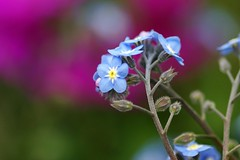 "わすれなぐさ (勿忘草)/Myosotis scorpioides (nobuflickr) Tags: nature japan flow kyoto myosotisscorpioides 勿忘草 thekyotobotanicalgarden waterforgetmenot 京都府立植物園 わすれなぐさ ムラサキ科ワスレナグサ属 ""forgetmenot"""