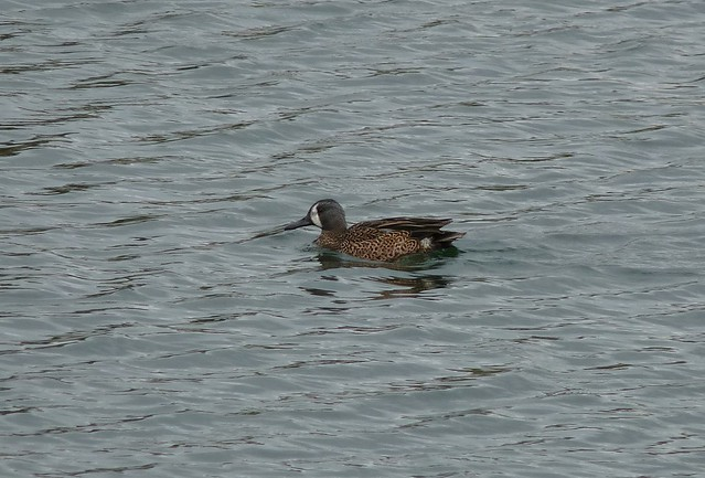 24035 - Blue Winged Teal, Sandy Water Park, Llanelli